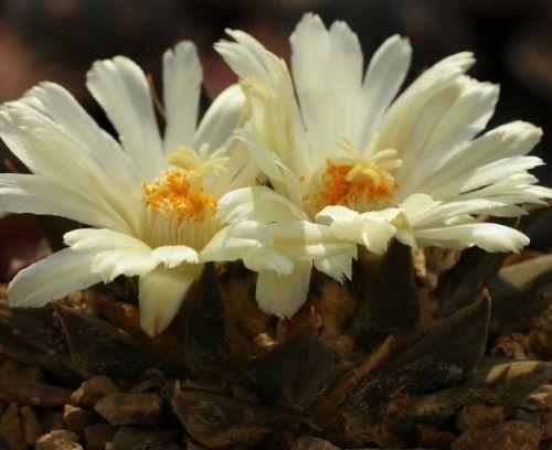 Ariocarpus trigonus v. horacekii Lebender Felsen Kaktus Samen
