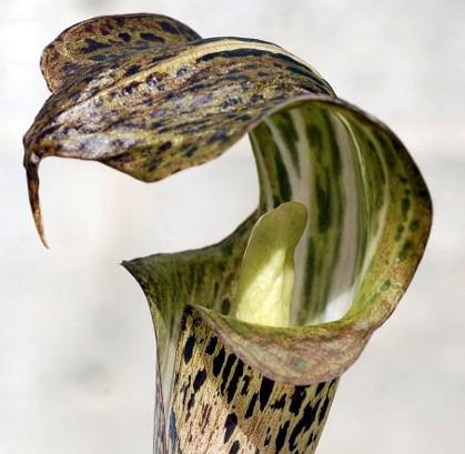 Arisaema nepenthoides Feuerkolben - Kobralilie Samen