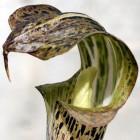Arisaema nepenthoides  semillas