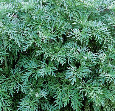 Artemisia absinthium Wermut Samen