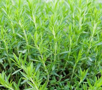 Artemisia dracunculus  semillas