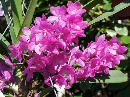 Ascocentrum mpullaceum orquídea semillas