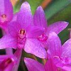 Ascocentrum pusillum Orchideen Samen