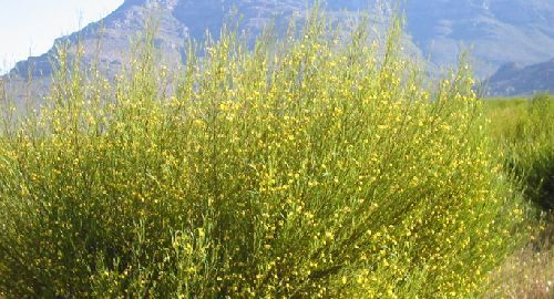 Aspalathus linearis  Семена
