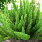 Asparagus densiflorus Mazeppa Mazeppa Farn Samen