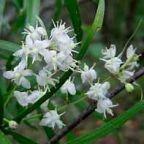 Asparagus falcatus Zierspargel Samen