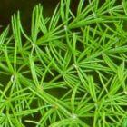 Asparagus racemosus Shatavari graines