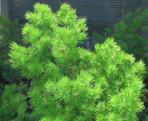 Asparagus retrofractus Asparagus graines