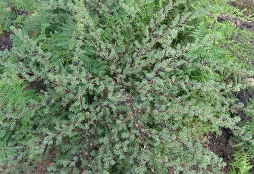 Asparagus rubicundus Zierspargel Samen