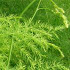 Asparagus setaceus syn: Asparagus plumosus graines
