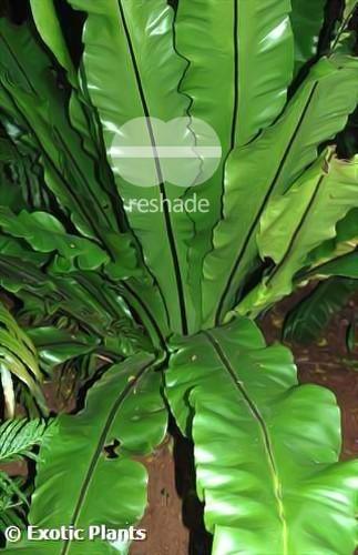 Asplenium nidus Nestfarn Samen