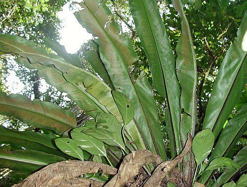 Asplenium serra  semi