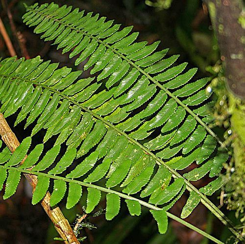 Asplenium tenerum felce semi