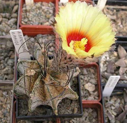 Astrophytum capricorne v. major Ziegenhorn Kaktus Samen