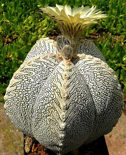 Astrophytum myriostigma cv. ONZUKA Cacti semillas
