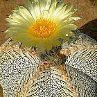 Astrophytum myriostigma cv. ONZUKA  cемян