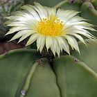 Astrophytum niveum v. nudum Cacti semillas