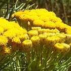 Athanasia crithmifolia Asteraceae graines