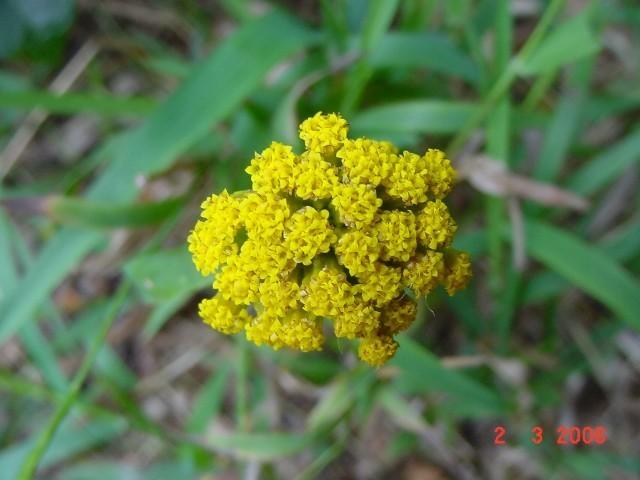 Athanasia dentata succulento semi