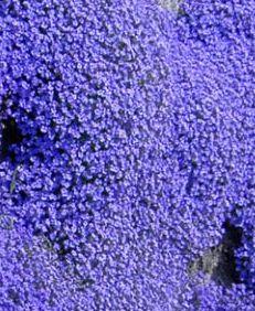 Aubrieta deltoidea Royal Blue  semi