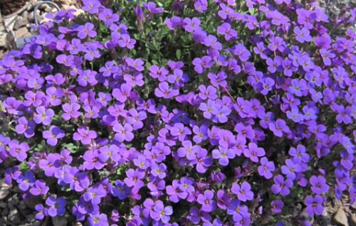 Aubrieta deltoidea Royal Violet Violettblühende Aubrieta Samen