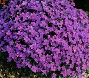 Aubrieta hybrida Hendersonii  semillas