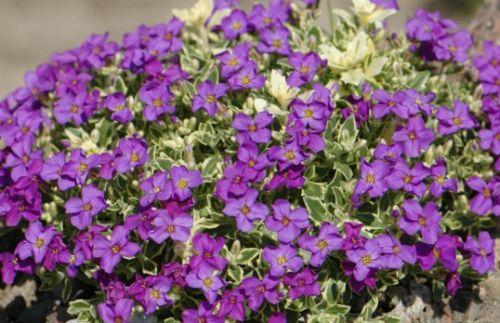 Aubrieta hybrida Leichtlinii  semillas