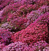 Aubrieta x cultorum Cascade Mix  semi