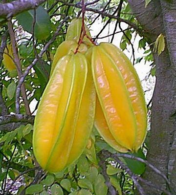 Averrhoa carambola Starfrucht - Karambola Samen