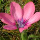 Babiana blanda  semillas