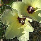 Babiana pygmaea planta bulbosa semillas