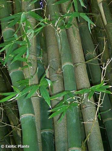 Bambusa arundinacea Dorniger Riesenbambus Samen