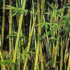 Bambusa cerosissima bamb? semi