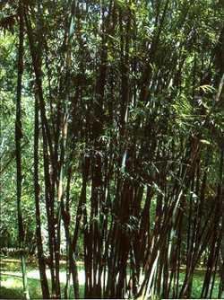 Bambusa distegia bambú semillas