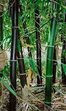 Bambusa lako Timor orientale di bambù nero semi