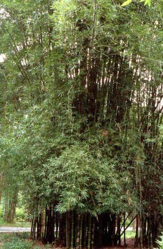 Bambusa lapidea  semillas