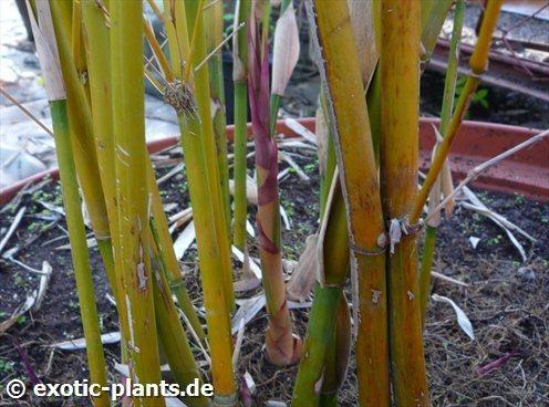 Bambusa multiplex Silver stripe Bambus Samen