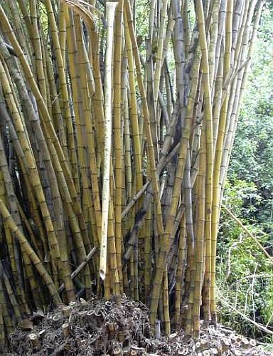 Bambusa polymorpha bambou graines