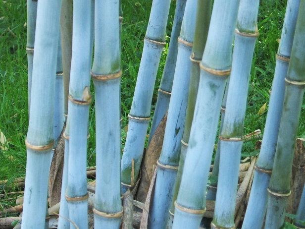 Bambusa textilis Blauer Bambus Samen