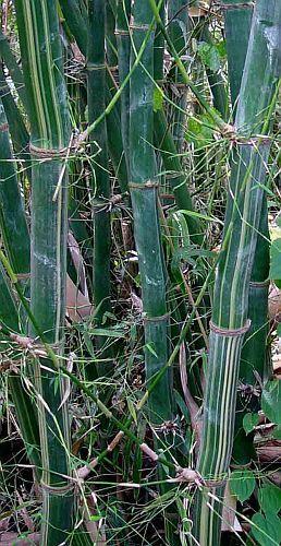 Bambusa tulda Bengal bambú semillas