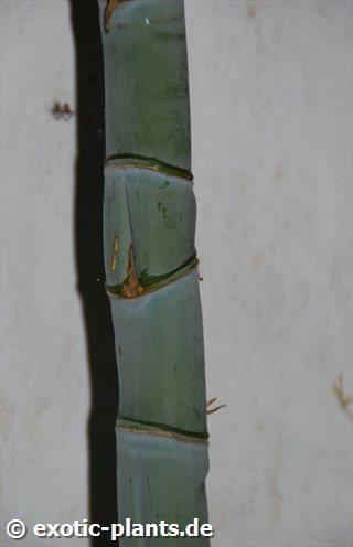 Bambusa ventricosa Бамбук вздутый  Семена