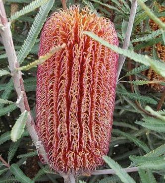 Banksia brownii Banksia à feuilles de plumes graines