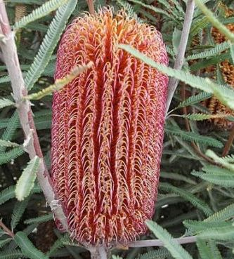 Banksia brownii  semillas