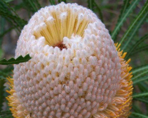 Banksia hookeriana Hookers Banksia Samen