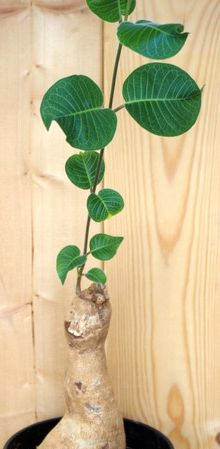 Baseonema gregorii Caudexpflanze Samen