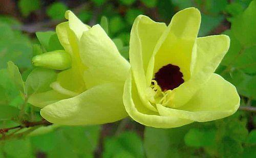 Bauhinia tomentosa Bauhinia amarillo semillas
