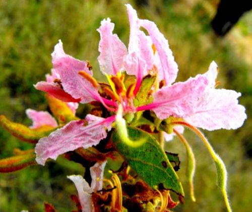Bauhinia urbaniana Rosafarbene Bauhinia Samen
