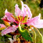 Bauhinia urbaniana Bauhinia rose graines