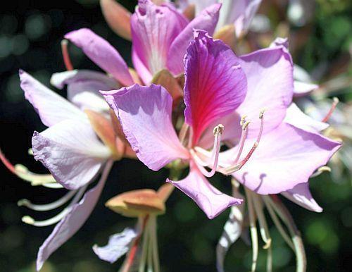Bauhinia variegata árbol de la orquídea púrpura semillas