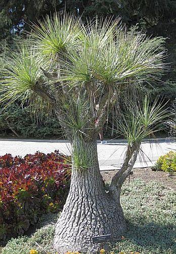 Beaucarnea gracilis Caudexpflanze Samen